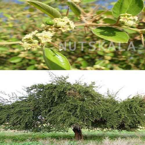 خرید و فروش عسل کنار ارگانیک کرنلو ناتس کالا خشکبار ممتاز nutskala nuts bazaar organic honey cedar wholesale price
