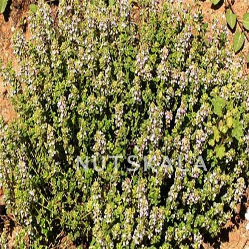 عسل طبیعی آویشن کرنلو ناتس کالا عمده nuts bazaar wholesale kernelo nutskala thymus honey